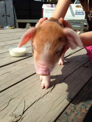 Another piglet picture for good measure.
