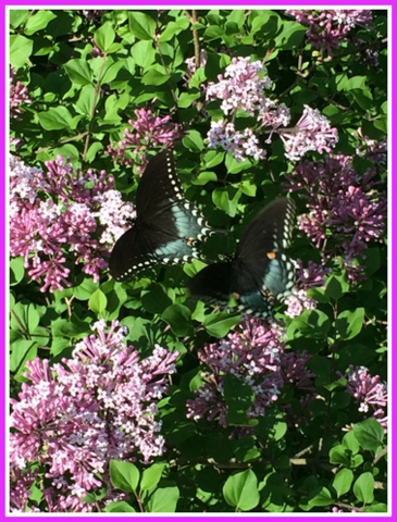 My English mini lilacs bloom much later than conventional bushes.