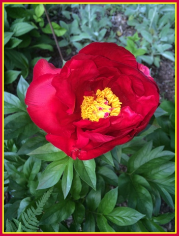 My favorite peony plant never disappoints...