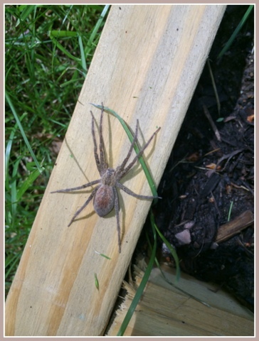 EEEeeek! While HUGE, Wolf spiders are good pest hunters in the garden.