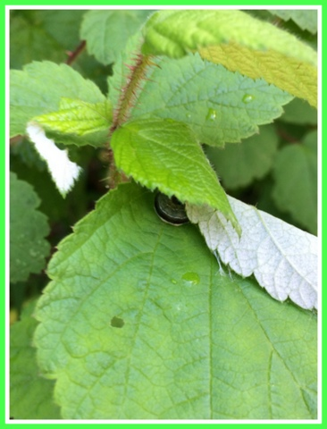 A caterpillar readies to make its cocoon on a raspberry leaf.