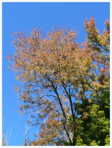 Yellow leaves against an October blue sky