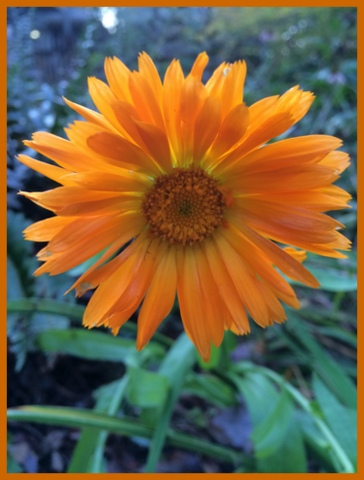 The calendula seeds I planted surprised me by blooming this week.