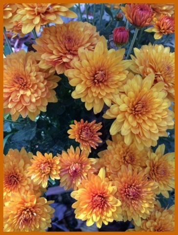 My favorite fall mums are orange.