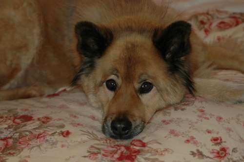 Isn't he handsome? He's a Eurasier. He's very smart and has been taking care of Grammy Joy for nearly 12 years.