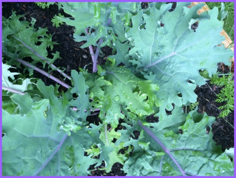 Fresh veggies, I'm dreaming of you! Kale from the garden, 2014