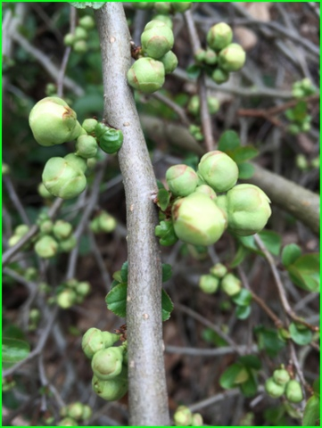 Quince buds. My dad planted this with me the first time he visited here.