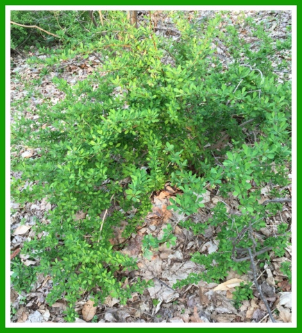 This is Japanese barberry, now on the Connecticut Invasive plant list. It's everywhere! Studies show it creates a perfect environment for ticks carrying illnesses such as Lyme disease. Our goal is to rid it of our property - a very difficult task.