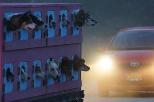 Huskies being evacuated from the fire zone.  Photo courtesy of KTUU.