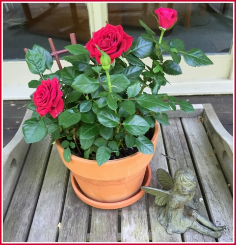 Wish I would have paid closer attention to my potted rose. It went from this...