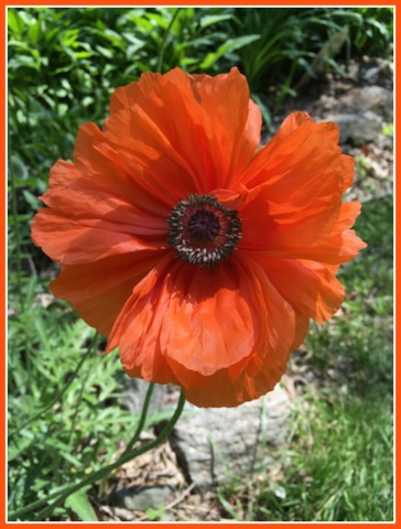 I love the color of early spring poppies that bloomed this year.