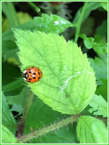 Ladybug beetles are good at eating things like aphids...