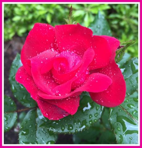 A rose after rain...