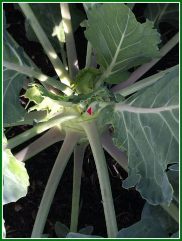 There's frass on the brassica...