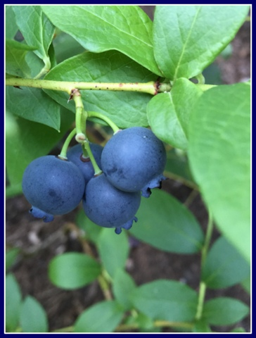 I love the blue of my sweet blueberries.