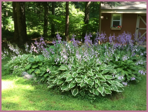 My hostas are a sea of purple blooms right now.