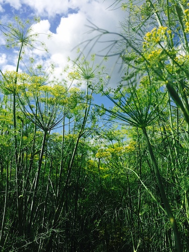 The dill is loving these dog days.  it's nearly six feet tall! Are they enjoying the extra light that Sirius provides?