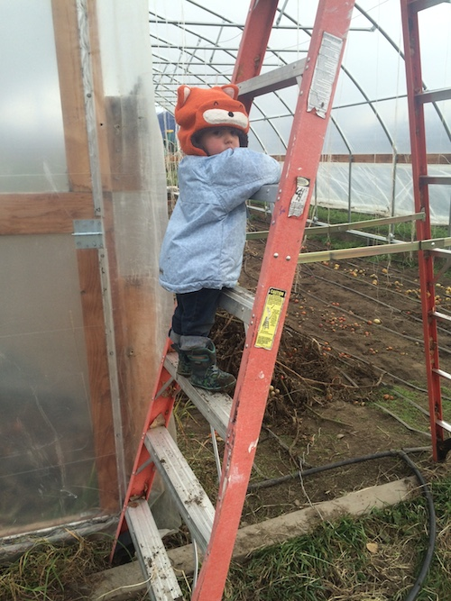 One of our last working days on the farm this season!  Preparing to take the plastic off of a high tunnel.  Ava is a daredevil on the ladder.