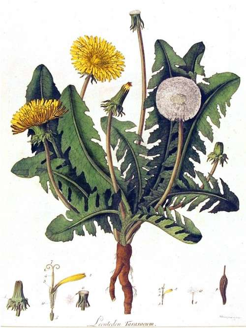 Botanical-Flower-Dandelion-engraving