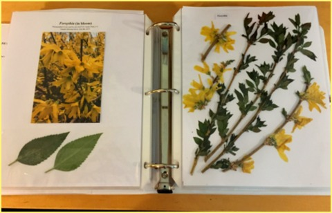 A page from my project showing forsythia.