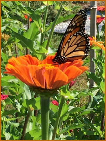 A monarch visits one of the Demo Garden's flowers.