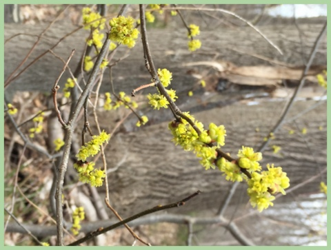 Our forecast looks better every week. By the end of the month, we should see beautiful, native Spice bush blooms (Lindera benzoin) outside. Photo 4/24/15