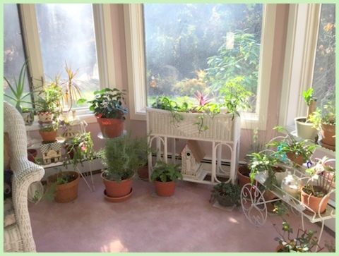"My sun room, dubbed the ""tea room"" is filled with houseplants and where I over-winter some of my patio plants."