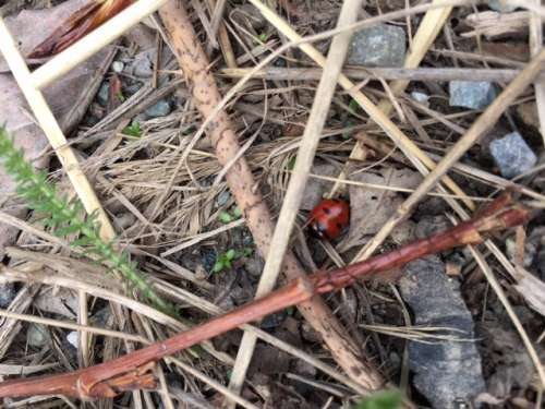 Ladybug hiding in debris on the edge or a parking lot. Wildness is everywhere.