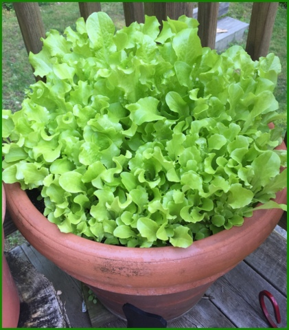 Lettuce stops producing in very warm degree temps.