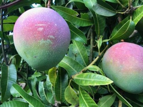 One of my favorite fruits: Mangos!