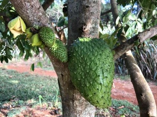 My mouth waters looking at this photo of soursop.  I was continuously surprised by the way these plants grow--these fruits seem to grow from the trunk and branches as well as on new growth.  Fascinating!