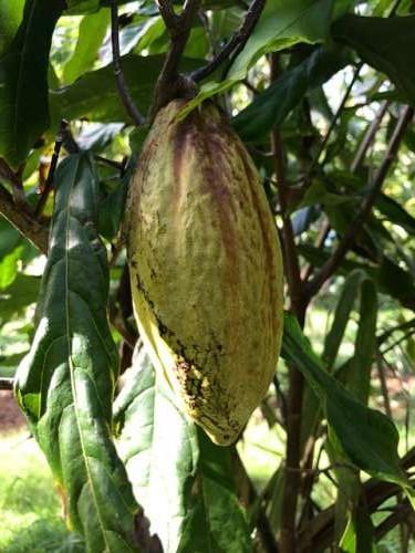 Cacao pod.  Am I dreaming?!?