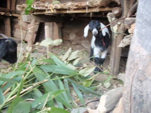 One of Yuba's goats.  Yuba had come to me with those leaves and tried to tell me something about eating them, I was confused.  I later saw that he was encouraging me to feed his goats!  The comedy of language barriers!