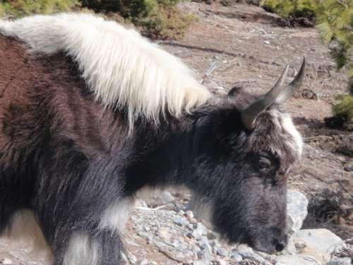 One of many yak sightings.