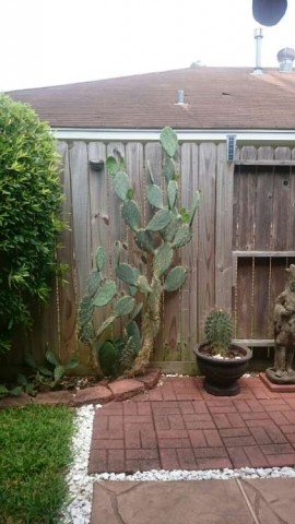 And various species of cacti. The large cactus was transplanted from my dad's ranch.