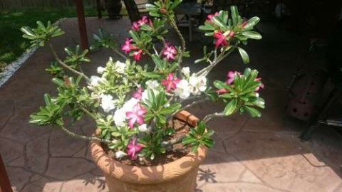 My brother's yard and patio is a beautiful oasis with desert rose...