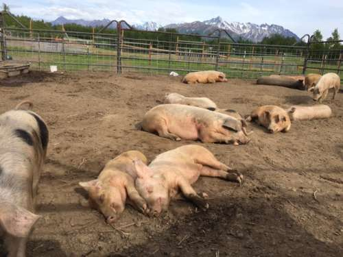 Happy snoozing pigs.