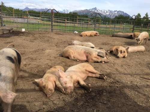 Happy snoozing pigs.