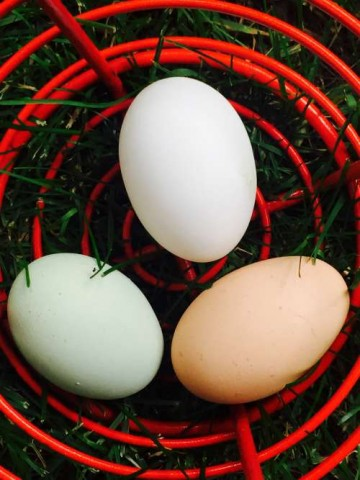 A leghorn, an Araucana, and a Rhode Island Red Cross egg.