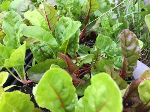 Baby Chard ready to planted in the field.