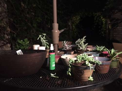 One way I decompressed: potting up succulents in the cool night by myself.