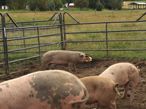 This pig was super proud of his kind of rotten pumpkin hunk.