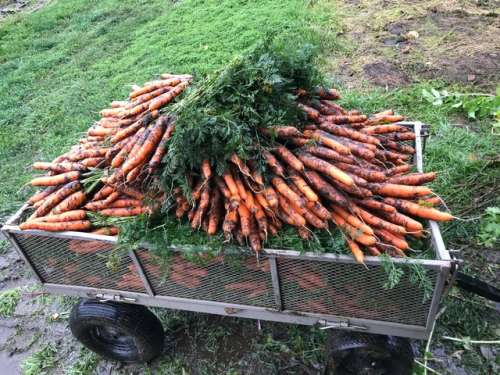 A very small sampling of the endless carrots.