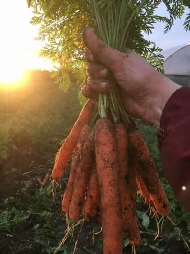 Golden hour carrots