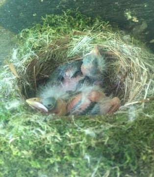 We watched the mama frequently feed her hungry brood of babies bugs this summer.