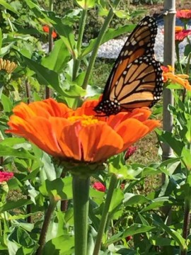 Adding color to our yards brings us joy and beneficials like this Monarch. Monarchs journey to Mexico for the winter!