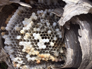 An inside view of a wasp nest