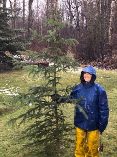 I chopped down our Christmas tree in the rain. A strange experience, but an experience nonetheless.