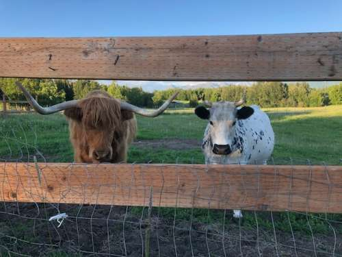 We don't have any photos of the calf yet, for fear of it running away! But Blossom is on the right and foster daddy Maybe on the left.  This is the two of them on the Fourth of July.