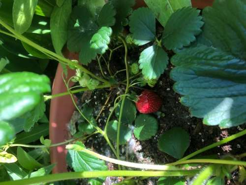 If only finding the lost calf was as easy as spotting this red strawberry (our first of the season!)